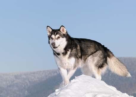perro alaska en la nieve