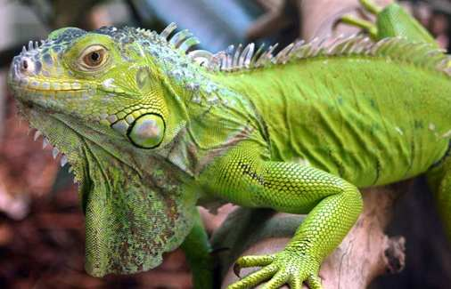 iguana en un patio como mascota