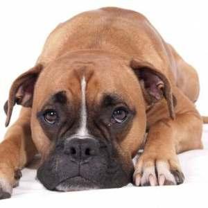 hermoso perro boxer marrón