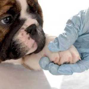 perro con dermatitis