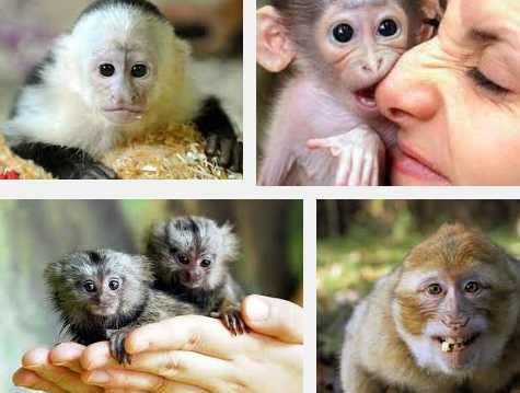 monos como mascotas
