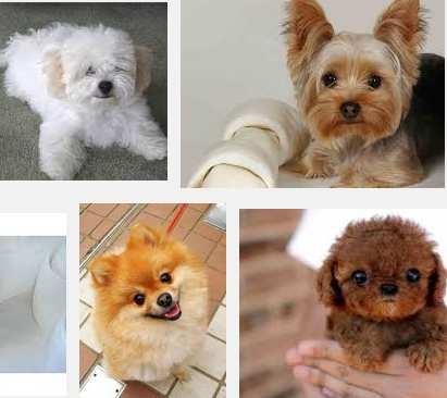 7 Ventajas De Tener Perros Chiquitos Miotipcom