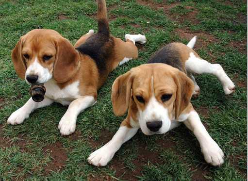 foto perros beagles