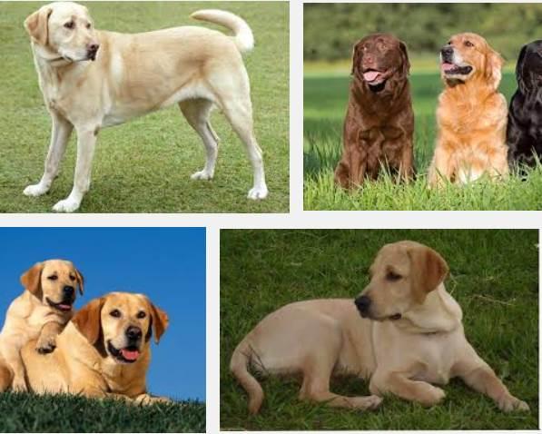 perro labradores