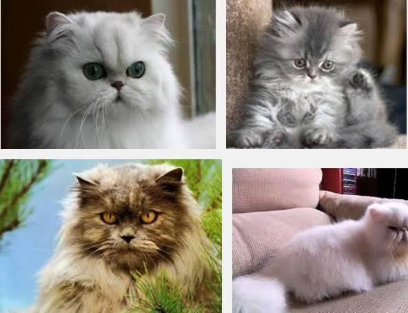 imagenes gatos persa