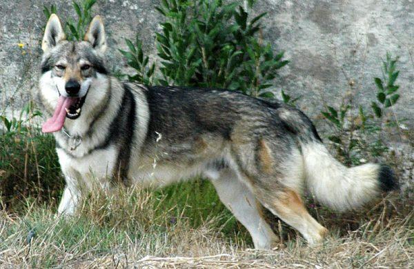 Las 9 razas de perros más caras: Conoce el ranking