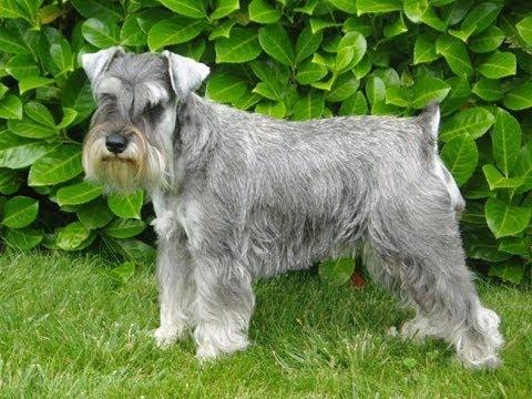 Perros schnauzer: 6 motivos por los que NO se recomienda tenerlos