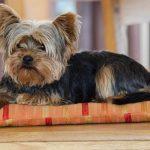 Yorkshire terrier: 6 razones por lo que NO DEBES tener uno