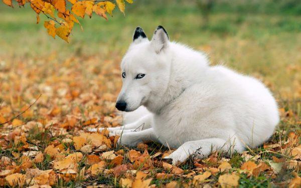 Las 9 razas de perros más caras