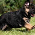 Pastor Alemán: Las 8 razones para tener uno de mascota