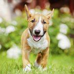 Bull Terrier mini como animal de compañia: 10 características que debes conocer