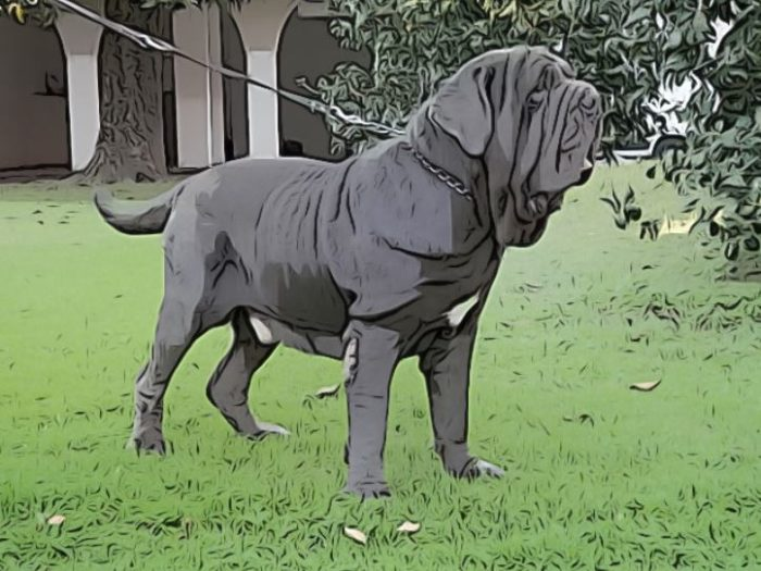 caracteristicas perros mastin